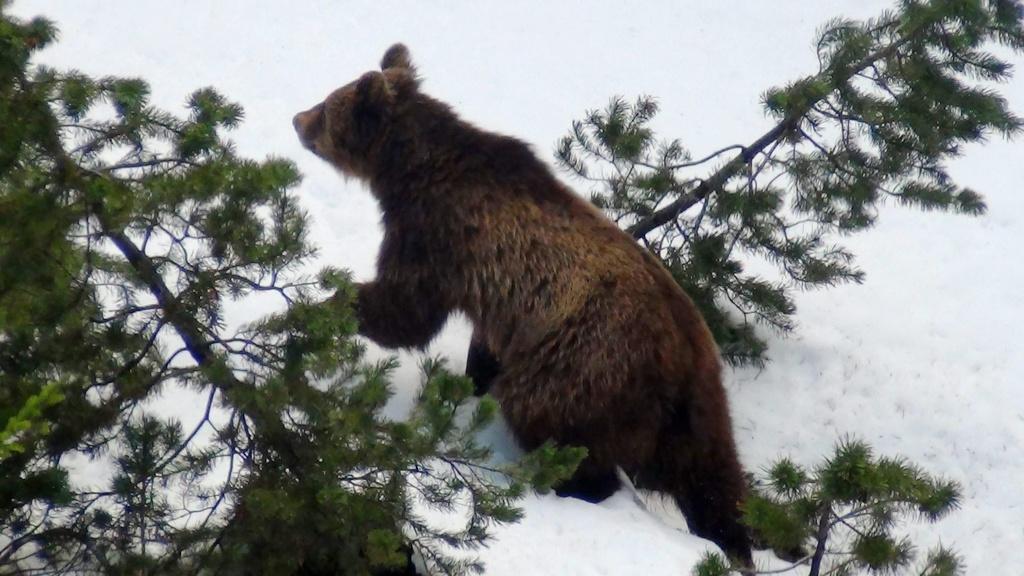 L'urs M13 occupa l'Engiadina Bassa